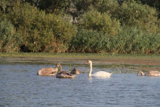 Лебеди Фото: Борис