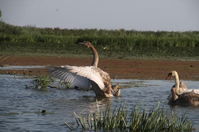 Молодой лебедь Фото: Борис