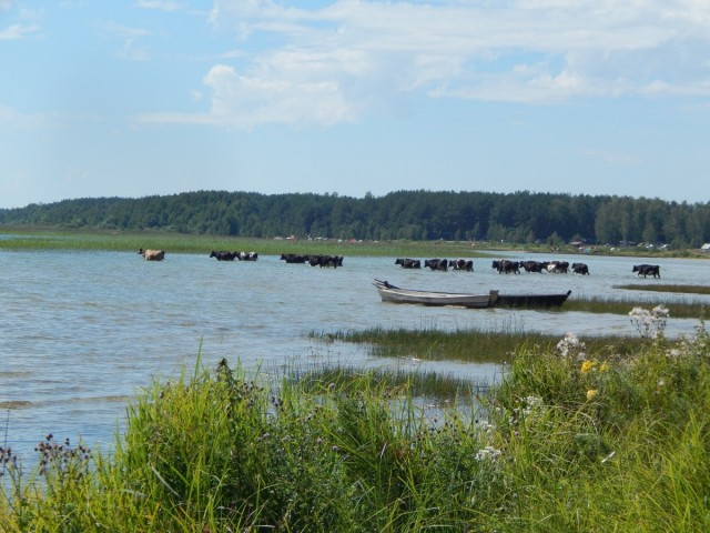 Корови...